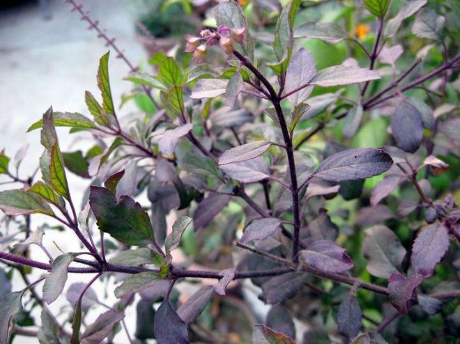 Medicinal values of Black Basil